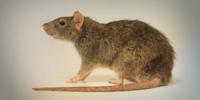 гороскоп 2016 для крысы
