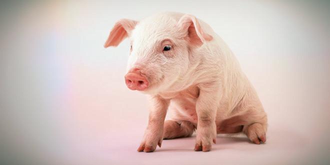 гороскоп 2016 для свиньи